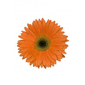 Bloem Gerbera oranje met pin en haarclip